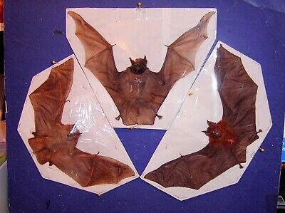 Bat Taxidermy 3 Large Rare Species Displayed In Natural Flying Position