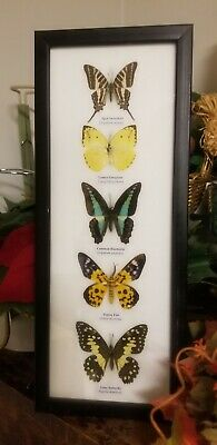 5 Real Mounted Butterflies  In Frame Taxidermy Insects