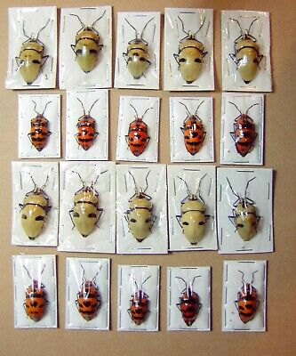 Clown Face Bug and Dead Head Bug 20 Lot 2 Species Adult Specimens