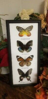 4 Real Mounted Butterflies  In Frame Taxidermy Insects