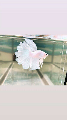 AAA Grade White Platinum  HalfMoon Betta ,Thailand Imported 🔥🔥Young And breed