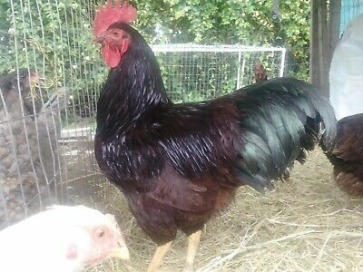 12 Heritage Rosecomb/Single Rhode Island Red Chicken Hatching Eggs.