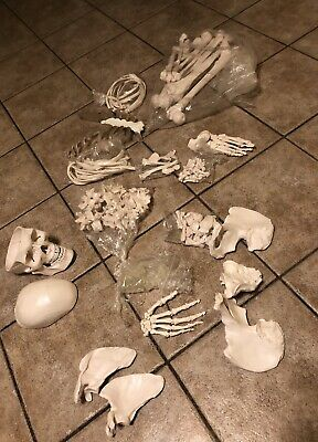 "Disarticulated Human Skeleton, Full, Medical Quality, Life Sized (62"" Model H..."
