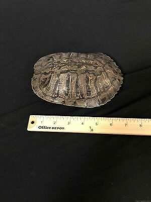 F28d Taxidermy Red Ear slider Turtle Shell Glass Dome Display collectible oddity