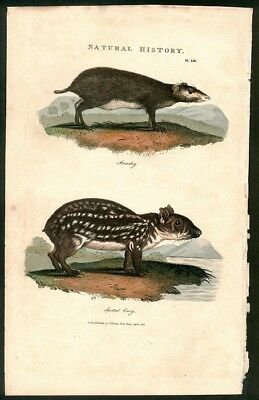 Spotted Cavy And Guniea Pig 1813 H/C Engraving