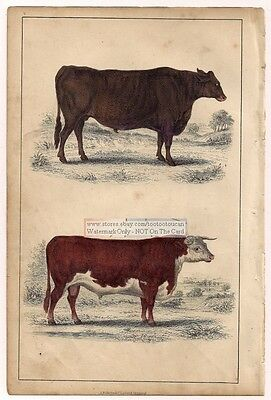 CATTLE: SUFFOLK AND HEREFORDSHIRE c1860 Hand Colored Litho