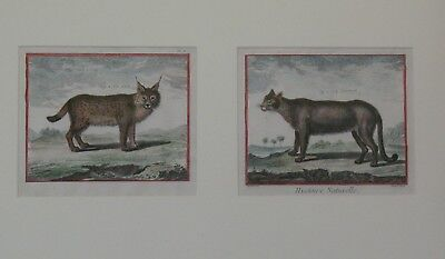 Antique Framed 18th C. French Hand-Tinted Etchings of Cats    Lynx & Cougar
