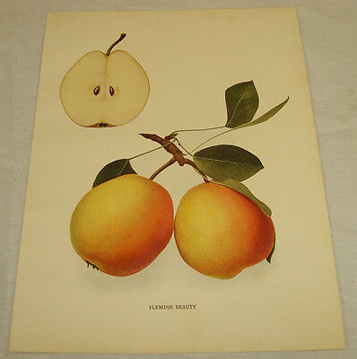 1921 Antique Print/FLEMISH BEAUTY/From Pears of New York, by Hedrick