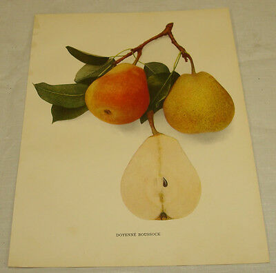 1921 Antique Print/DOYENNE BOUSSOCK/From Pears of New York, by Hedrick