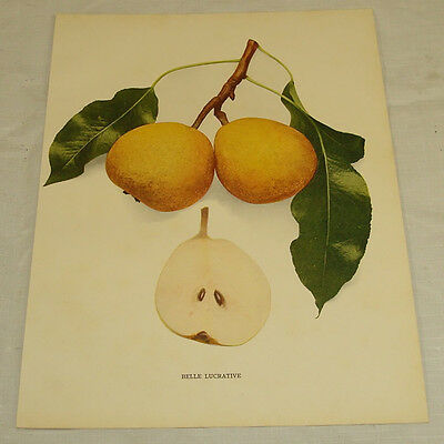 1921 Antique Print/BELLE LUCRATIVE/From Pears of New York, by Hedrick