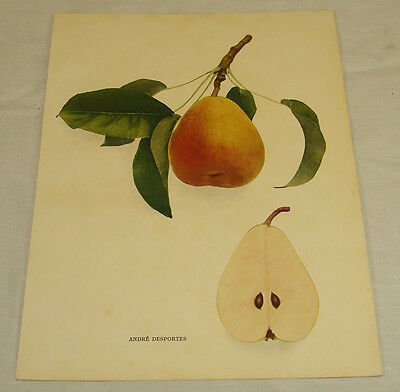 1921 Antique Print/ANDRE DESPORTES/From Pears of New York, by Hedrick