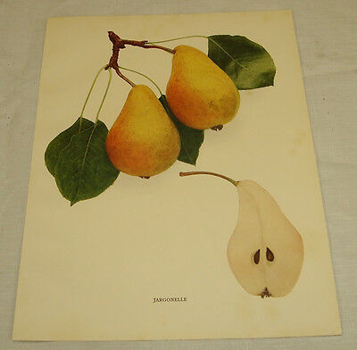 1921 Antique Print/JARGONELLE/From Pears of New York, by Hedrick