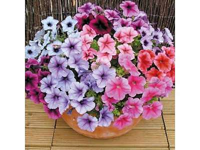 Flower Petunia Superbissima Mixed 0.1Gm Approx 1000 Seeds