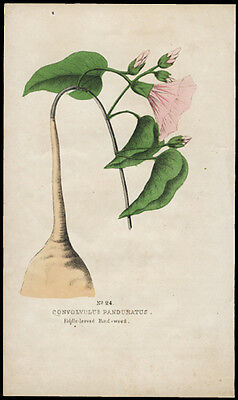 1845 P Good American First Edition Hand Color Antique Flower Print Bind-Weed