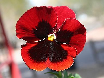 Flower Pansy Cardinal Red - 200 Seeds