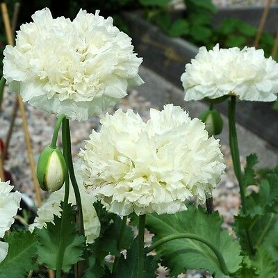 Flower Poppy Paeoniflorum Swansdown White Peony 2000 Seeds