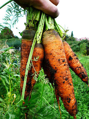 Carrot Autumn King 2  6000+ Seeds