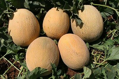 Vegetable  Melon Ananas  100 Finest Italian Seeds