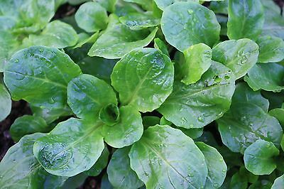 Herb  Corn Salad Lambs Lettuce  Mache  1300 Finest Seeds