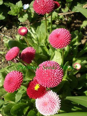 Flower Bellis Perennis Pomponette 2000 Seeds  Annual