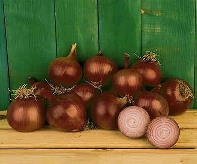 Vegetable  Onion Red Creole  1000 Seeds