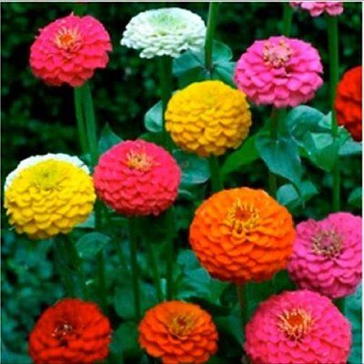 Flower Zinnia Lilliput Mix 4 Gram ~ Approx 620 Finest Seeds