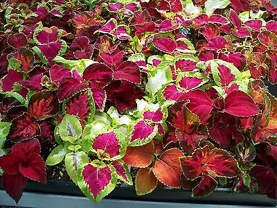 Flower Coleus Rainbow Mixture 800 Finest Seeds - Stunning Foliage