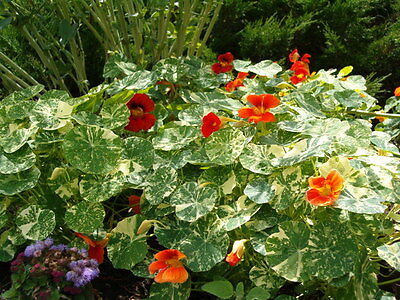 Flower Nasturtium Varigated Alaska Mix 75 Finest Seeds