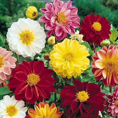 Flower Dahlia Unwins Dwarf Mix 150 Finest Seeds