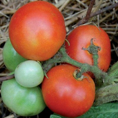 Vegetable Tomato Czech Bush 100 Finest Seeds Patio Container Size