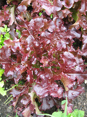 Organic Vegetable  Lettuce Red Oakleaf 1000 Finest Seeds