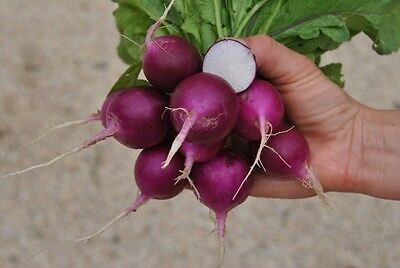 Organic Vegetable  Radish Plum Purple  500 Seeds