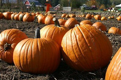 Organic Vegetable  Pumpkin Howden  20 Seeds