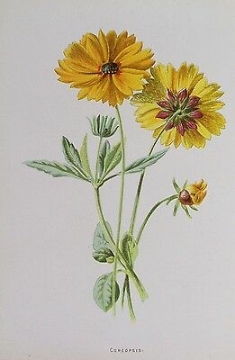 OLD PRINT COREOPSIS FLOWER FLOWERS c1890's PRINTED COLOUR ANTIQUE 19th CENTURY