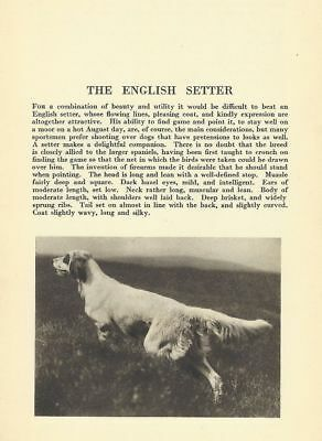 English Setter - 1931 Vintage Dog Print - MATTED