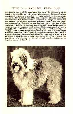 Old English Sheepdog - 1931 Vintage Dog Print - MATTED