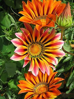Flower Gazania Sunshine Hybrid Mix 140 Seeds  Annual
