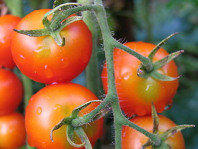 Organic Vegetable Tomato Gardeners Delight 50 Finest Seeds