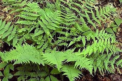 3 LeatherWood Ferns  WILDFLOWERS FLORIST CHOICE