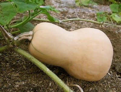 Vegetable  Squash Butternut Chieftain F1  15 Seeds