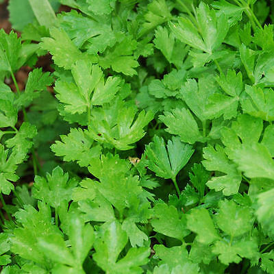 Parsley Italian Giant Flat - 2 Gram ~ Approx 1000 Seeds **free Uk P&p**