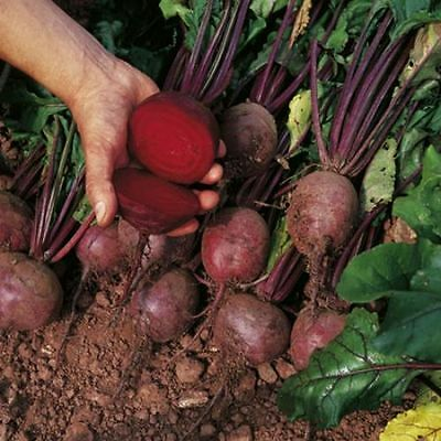 Vegetable Beetroot Boltardy  800 Finest Seeds ** Free Uk P&P**