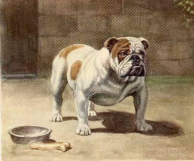English Bulldog - Dog Art Print - Megargee MATTED