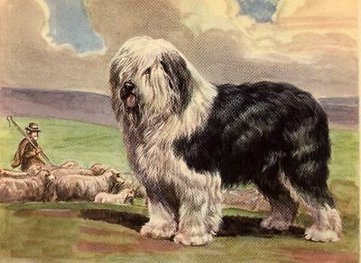 Old English Sheepdog - Dog Art Print - Megargee MATTED