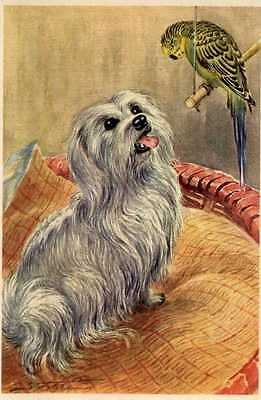 Maltese - MATTED Dog Art Print - German / NEW U