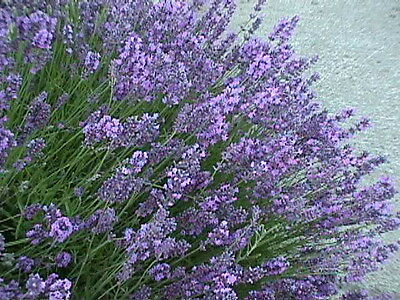 Lavender  - Common English - 1000 Seeds