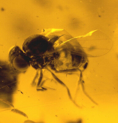 Rare fossil fly Brachycera  in genuine Baltic amber