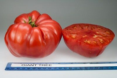 Vegetable Tomato Giant Tree 40 Finest Seeds