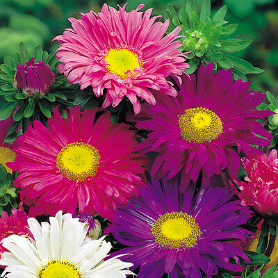 Flower Aster China Single Mixed   400 Finest Seeds  Annual