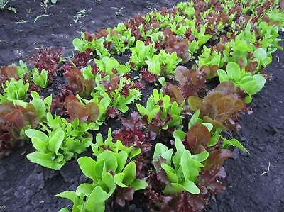 Vegetable  Lettuce Gourmet Looseleaf Cutting Mix  500 Seeds  ** Free Uk P&p **